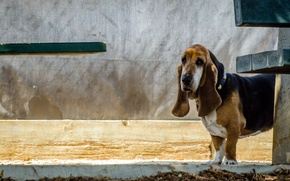Picture look, each, dog, basset