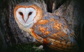 Picture owl, polar, gold