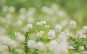 Picture tenderness, flowers, nature, plants, white, leaves, glade, blur, greens, summer, grass, clover