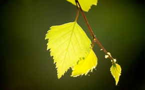 Picture greens, leaves, macro, light, birch