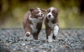 Picture running, two, puppy