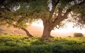 Picture grass, tree, dawn, slope, Kurdistan