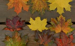 Picture autumn, leaves, macro, Board, maple