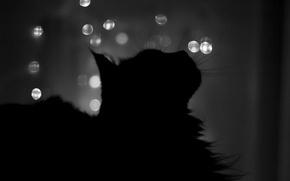 Picture cat, Night, silhouette