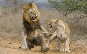 Wallpaper lioness, attack, lion, fight