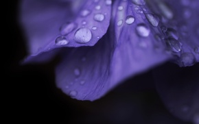 Picture flower, purple, water, drops, macro, flowers, Rosa, background, pink, widescreen, Wallpaper, drop, petals, wallpaper, flower, …