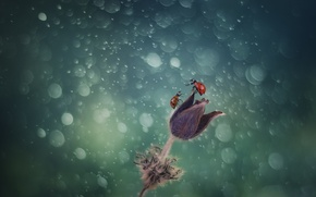 Picture flower, drops, glare, two, ladybugs