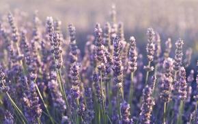 Picture flowers, plants, lavender