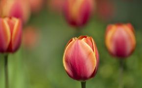 Picture plant, Tulip
