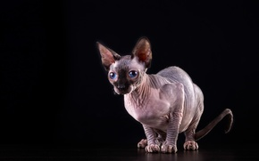 Picture cat, cat, blue eyes, black background, Sphinx