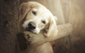 Picture look, nature, Dog, Golden Retriever