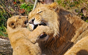 Picture MOUTH, The GAME, FANGS, LIONS, OFFSPRING, LION