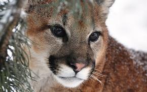 Picture mustache, look, face, predator, Puma, mountain lion, Cougar