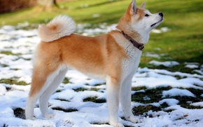 Picture dog, puppy, snow, each, collar, spring, Akita inu