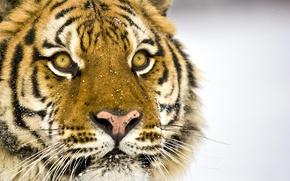 Wallpaper Face, Tiger, Eyes, Snow, Mustache, Nose