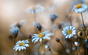 Picture flowers, background, chamomile, blur, blue