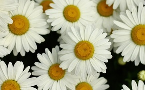 Picture white, flower, summer, yellow, Daisy