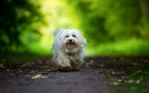 Picture dog, walk, The Havanese