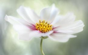 Picture petals, flower, nature