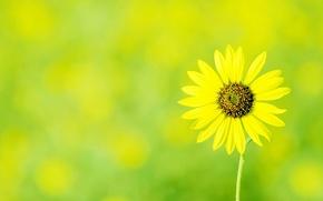 Wallpaper flowers, Daisy, yellow, flower, green background