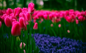 Picture spring, tulips, spring, Tulips, dark pink, dark pink