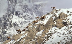 Picture animals, snow, mountains, stones, France, tour, Capricorn, The Pyrenees