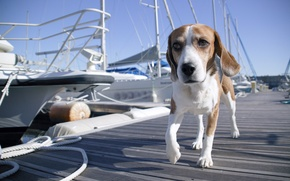 Picture boat, Marina, dog, yacht, pier, boat