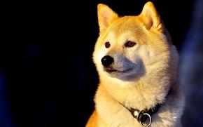 Picture dog, collar, Shiba inu