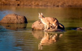 Picture reflection, wildlife, caracal