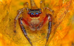 Picture spider, eyes, autumn, leaves, orange, leaf, paws, vegetation, dry, Jumping Spider, Salticidae, flycatcher spiders