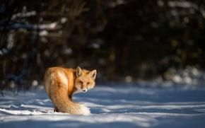 Wallpaper looking, snow, fox, winter, wildlife