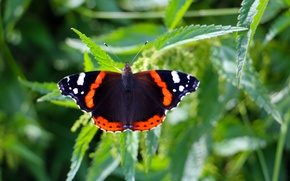 Picture summer, butterfly, Admiral, nettle