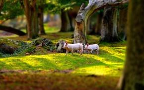 Wallpaper nature, Park, pigs