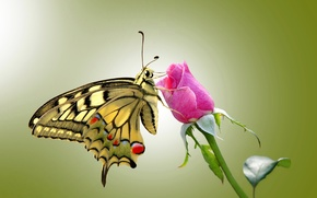 Picture eyes, butterfly, roses, wings, stem, rose, antennae, wings, butterfly, eye, stalk, leave, antennae, leave