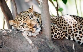 Picture look, face, tree, predator, leopard
