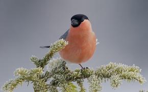 Picture bird, branch, bullfinch