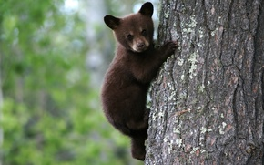 Picture bear, on the tree, brown, bear