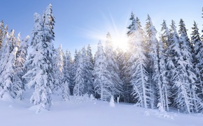 Picture winter, forest, the sky, the sun, rays, snow, landscape, branches, nature, blue, ate, Sunny, tree, …