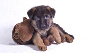 Picture toy, monkey, puppy, breed, German shepherd