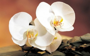 Picture flower, branch, Orchid
