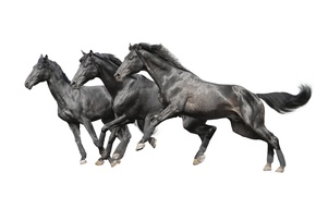 Picture horses, horse, white background