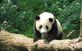 Picture look, bear, Panda