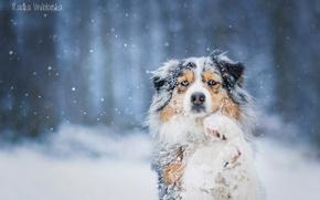 Picture snow, dog, Australian shepherd