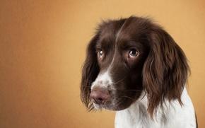Picture eyes, face, dog, sad