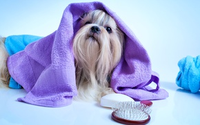 Picture towel, muzzle, York, Dogs, Terrier, comb