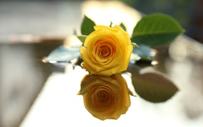 Picture flower, leaves, reflection, rose, yellow