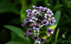 Picture flower, macro, pale purple