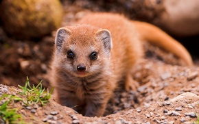 Picture look, animal, mongoose