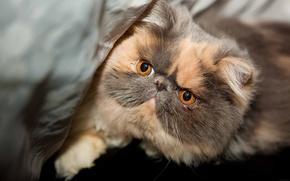 Picture eyes, cat, look, muzzle, beautiful, pedigree