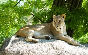 Picture cat, the sun, stay, stone, lioness